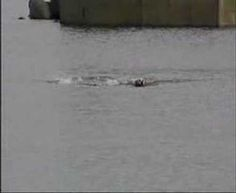 Unlikely friendship. Dog & Dolphin swim together everyday in Tory Island Harbour, Ireland. Love is love <3