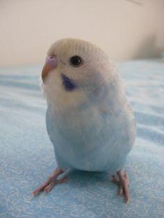 Zara by court-the-dork.de… on Zara von court-the-dork. Funny Birds, Cute Birds, Pretty Birds, Beautiful Birds, Animals Beautiful, Cute Little Animals, Little Birds, Cute Funny Animals, Budgie Parakeet