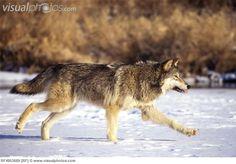 wolves running