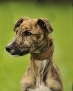 farlap-photography.com: Working Terriers and Lurchers