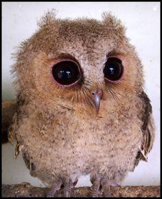 bird, cutest babies, big eyes, pet, owl babies, baby owls, baby animals, animal babies, babi owl