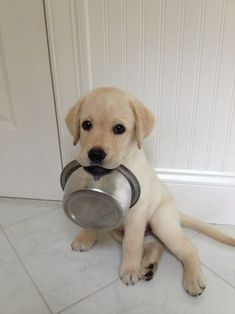Really Hungry Labrador Puppy #puppydog