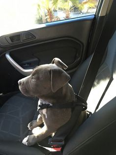 Human, I am ready for our road trip!You can find Pitbull terrier and more on our website.Human, I am ready for our road trip! Chien Bull Terrier, Pitbull Terrier, Cute Dogs And Puppies, Baby Dogs, Doggies, Pit Bull Puppies, Puppy Pitbulls, Cute Little Animals, Cute Funny Animals