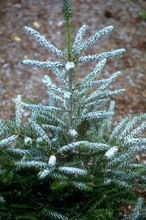 Abies koreana ' Silver Show ' Dwarf Korean Fir green needles curving upwards revealing a white underside. Silver show seems to grow slower than Silberlocke and should be expected to reach 5-6' over 15