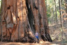 100 Giant Sequoia Tree Seeds, Sequoia Gigantea The largest tree and the oldest living thing in the world Genus: Sequoia Gigantea Grows on average 165 to 300 feet tall with a diameter of feet germination rate Zones: 6 to 8 Giant Sequoia Trees, Giant Tree, Big Tree, Sequoiadendron Giganteum, Sequoia Sempervirens, Weird Trees, Tree Seedlings, Unique Trees, Unique Plants