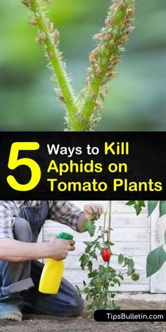 Learn how to get rid of aphids on tomatoes using DIY insecticidal soap. Add beneficial insects and plants that counteract aphid infestations naturally. Create a neem oil or tomato spray that eliminates pests and promotes aphid control. Trimming Tomato Plants, Tomato Plant Care, Cherry Tomato Plant, Tomato Plant Diseases, Aphids On Plants, Plant Pests, Garden Pests, Potager Garden, Veg Garden