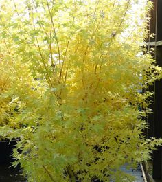 Mail Order Conifer Nursery of Dwarf and Miniature Conifers, Japanese Maples, Bonsai, and Fairy Garden Plants. Visitors welcome by appointment, call ahead Fairy Garden Plants, Garden Trees, Garden Oasis, Acer Palmatum, Deciduous Trees, Trees And Shrubs, Potted Trees, Unique Trees, Small Trees