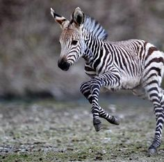 Want this zebra so bad