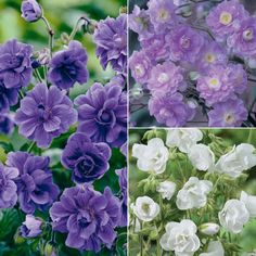 Geranium 'Double Flowered Collection'  Geranium himalayense 'Birch Double' (left) - Vigorous and versatile, this superb cranesbill tolerates almost any situation; even full shade.  Geranium pratense 'Laura' (bottom right) - Long lasting, weather resistant, double white flowers are produced from June onwards on upright, downy stems.  Geranium pratense 'Summer Skies' (top right) - The double blooms of Geranium pratense 'Summer Skies' hardy herbaceous perennial is tough and undemanding.