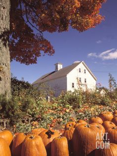 size: Photographic Print: Pumpkins for Sale in Concord, MA Poster by Kindra Clineff : Cuisine Pumpkins For Sale, Fall Pumpkins, Pumpkin Leaves, Pumpkin Plants, Pumpkin Wallpaper, Planting Pumpkins, Fall Planting, Autumn Scenes, Autumn Aesthetic