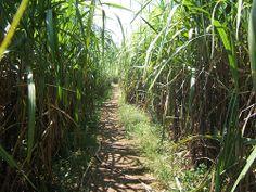 Sugar Cane Boulevard: A trail in a sugar cane field in the Philippines.