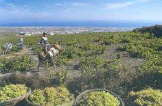 Wine And Spirits, Santorini, Google Images, Wines, Vineyard, Mountains, Nature, Travel, Naturaleza