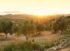 Champ d'oliviers à Kalamáta, en Grèce