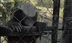 Clever Honey Badgers escape from enclosure