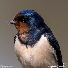 Now's the time to look to the skies for one of our loveliest summer migrants. Have you seen a swallow yet?