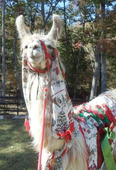 Llama Jolly is modeling the newest holiday blanket and head cover that I made. Llama Llama, Map Pictures, Alpacas, Camels, Beautiful Creatures, Giraffe, Modeling, Drama, Horses