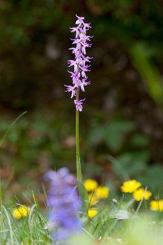 Orchis mascula ssp. speciosa | Männliches Knabenkraut