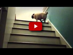 OMG, Hilarious Pug Takes On The Stairs! LOL!