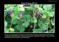 My cousins grow these in Utah! Fascinating Facts, Wtf Fun Facts, Random Facts, Interesting Facts, Random Stuff, Cool Stuff, The More You Know, Good To Know, Mind Blowing Facts