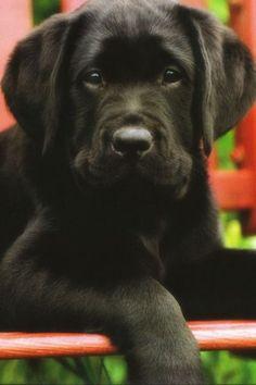 ❤Black Labrador cutie❤