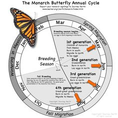Butterfly Annual Cycle: month-by-month where are monarchs and what are they doing?Monarch Butterfly Annual Cycle: month-by-month where are monarchs and what are they doing?