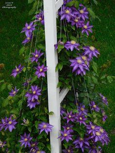 Idei pentru grădină şi terasă: Clematite - Stele florale pe suporturi suspendate Stele, Design Case, Vines, Garden Design, Outdoor Structures, Floral, Flowers, Mai, House