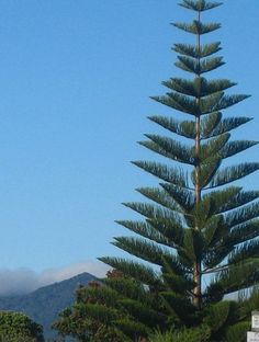 Araucaria heterophylla