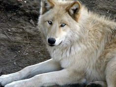 Gorgeous blue-eyed white Wolf