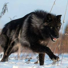 Black wolf - stunning