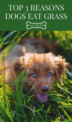 As The Experts: Top 3 Reasons Dogs Eat Grass | Dog Health Tips | Dog Training |
