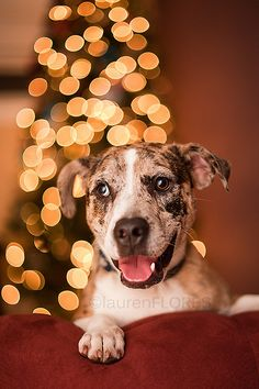 Brooke :: Christmas 2012  11 month old Australian Shepherd and Pitbull mix. He is the perfect mix of smart and devoted with just a dash of goofy <3  #aussie #pitbull #mutt