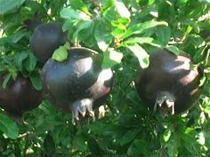 Black pomegranate??  Want this.  Want it bad.