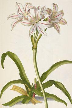 Amaryllis (Belladonna lily) by J E Haid -- From Christoph Jacob Trew and Georg Ehret, Plantæ Selectæ (Nuremberg, 1750-1790)