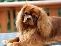 Cavalier King Charles Spaniel My favorite color. How spectacularly beautiful?