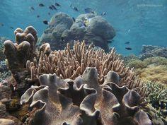 Sarcophyton sp. (Leather Coral) Coralgarden, Raja Ampat ... Hans-Gert Broeder bunakenhans.com