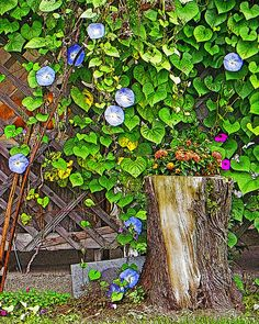 My blue morning glory photo print is now available on my Etsy shop at www.etsy.com/shop/AnneFreemanImages  I ship worldwide.  Click on the link for print details and to order.  ~ Anne Freeman Images ~ Prints to Make you Smile ~ Morning Glory Vine  Blue Morning Glories  by AnneFreemanImages
