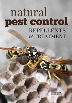 Get Rid Of Toxin Natural pest control is possible - get rid of the chemicals and toxins in and around your home. Here are lots of home remedies for pest repellents that aren't harmful to our kids or pets. Best Pest Control, Pest Control Services, Bug Control, Wasp Repellent, Bees And Wasps, Pest Management, Humming Bird Feeders, Garden Pests, Garden Insects
