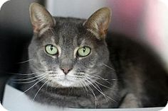 Bensalem, PA - Domestic Shorthair. Meet 14-0199 Strummer, a cat for adoption. http://www.adoptapet.com/pet/10536957-bensalem-pennsylvania-cat