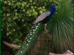 Peacock Polka