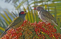 Two Fig Birds feeding on berries from a Foxtail Palm. | Flickr - Photo Sharing!