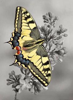 Farfalla da incorniciare