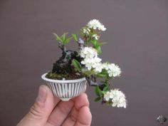 """Baby"" Bonsai 30 - Mame Bonsai with blossoms by 盆栽鉢 春嘉"