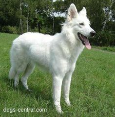 White German Shepard! A dog just like this will be mine in just one short year!!!!