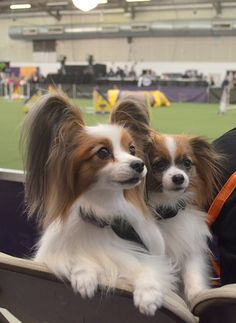 Papillons at the Masters Agility Championship, Westminster Kennel Club Dog Show in NYC on 2/8/14. c.