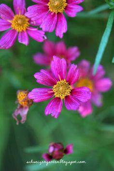 Dauerblüher Mädchenauge - Ein Schweizer Garten