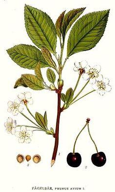 Prunus avium / Cerezo