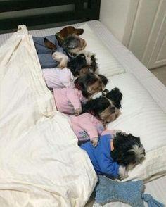 Lots of Shih Tzu Lov cute puppies dogs Shitzu Puppies, Cute Puppies, Cute Dogs, Dogs And Puppies, Doggies, Toy Dogs, Havanese, Perro Shih Tzu, Shih Tzu Puppy