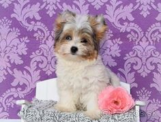 Yorkshirsky terier , Blueberry merle s PP - 1 Biewer Yorkie, Yorkies, Shih Tzu, Blueberry, Puppies, Dogs, Animals, Animales, Yorkie