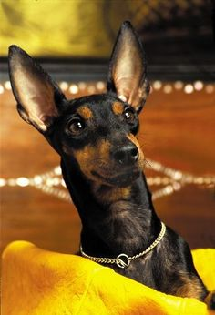 Manchester Terrier / English Toy Terrier / Black and Tan Dog Breeds List, Small Dog Breeds, Funny Dog Pictures, Puppy Pictures, English Toy Terrier, Terrier Breeds, Terrier Dogs, Cute Dogs, Boxing