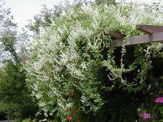 Bokharabinda, Polygonum baldschuanicum